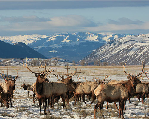 National Elk Refuge Slideshow