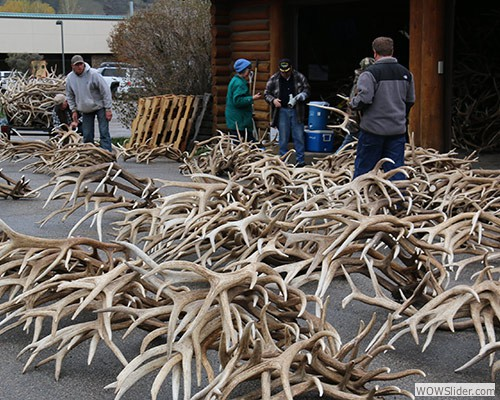 Sea of Antlers for the 2014 Auction