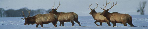 Big Antler, Elk in Winter
